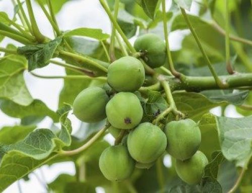 India First Biofuel Flight Was powered By Jatropha Seeds Oil
